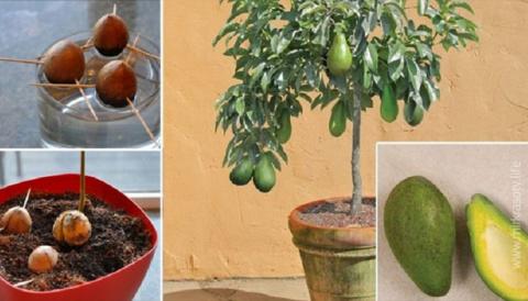 Выращиваем авокадо из косточ…