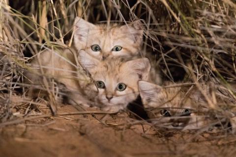 Котят Барханной кошки впервы…