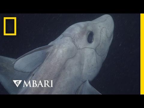 """""""Акула-призрак"""" впервые попала на видео"""