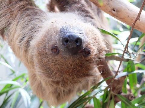 В новосибирском зоопарке впервые появился на свет ленивец