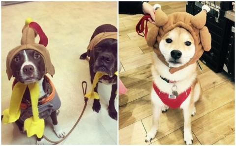 25 забавных фото собак в костюмах индейки на День благодарения