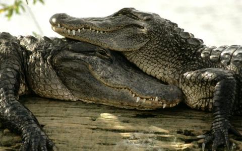 Крокодилы. Интересные факты