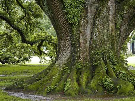 10 самых легендарных деревьев нашей планеты