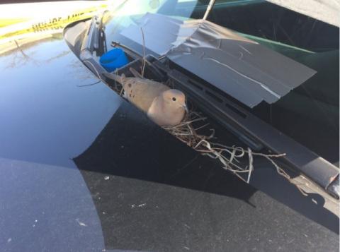 Птица соорудила гнездо в полицейской машине. Узнайте, что сделали хранители правопорядка