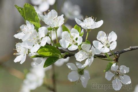 Про синильную кислоту в ветках косточковых деревьев - распространённый миф.