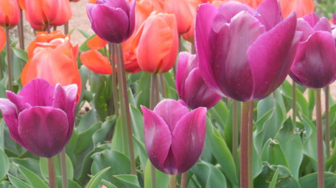 Выставка тюльпанов Никитског…