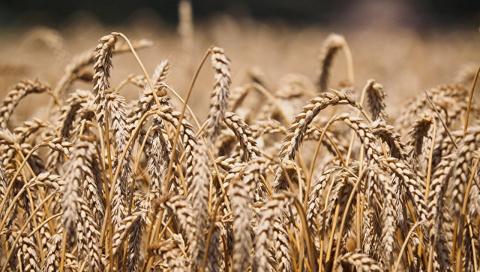 Россия подкосила Америку. США проиграли нам «пшеничную войну»