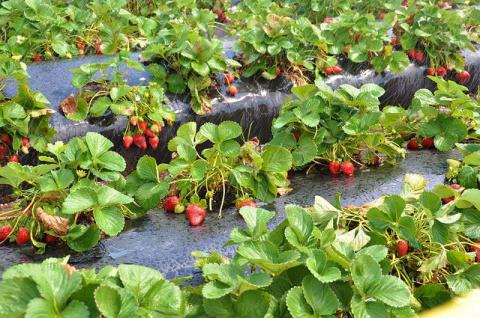 Всем ягодам ягода. Секреты весенней посадки земляники
