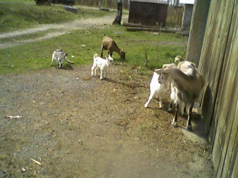 Чупакабра обескровила стадо коз в Сатке