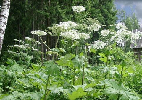 САД, ЦВЕТНИК И ОГОРОД. Как победить пять самых живучих сорняков