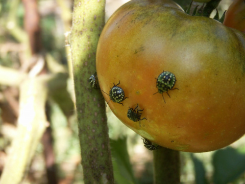 Монстры на помидорах
