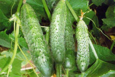 5 секретов выращивания огурцов от опытного дачника