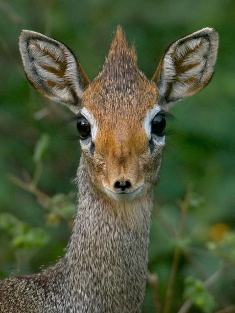 В Московском зоопарке появились крошечные антилопы дикдики