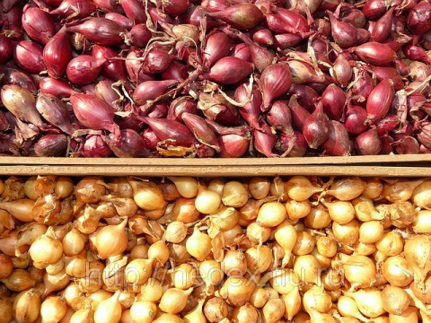 Лук севок — секрет посадки