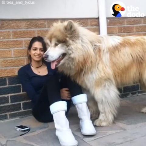 Эта собака выросла в настоящ…