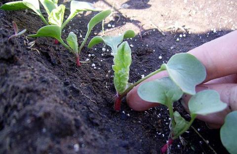 Подзимние посевы. Выращивание редиса и щавеля в тени деревьев