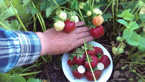 Землянику скашиваю «под ноль» и выращиваю в загущенных посадках