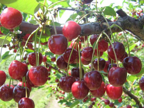 Выращиваем самоплодную вишню в средней полосе России