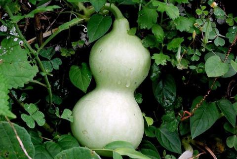 Лагенария: от рассады до урожая