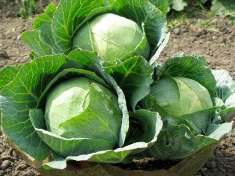 Народная хитрость: как поторопить капусту