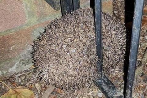 Толстый еж из Великобритании застрял в ограде