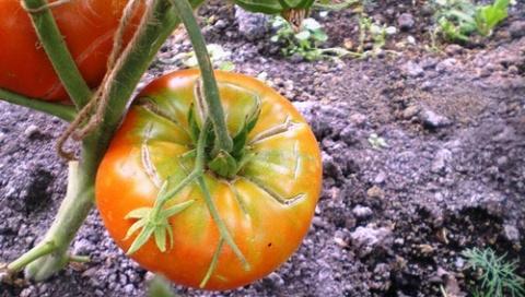 От чего и почему лопаются томаты?