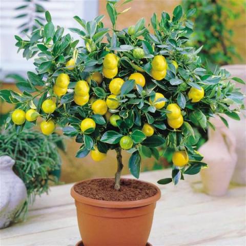 Как посадить и вырастить лим…