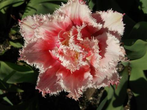 Тюльпаны бывают разные - жел…