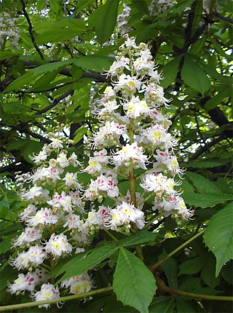 Каштан цветёт. 23 мая - День каштановых свечек