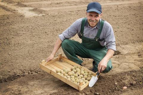 Картофель: особенности выбора «семян» и правила посадки - советы специалиста