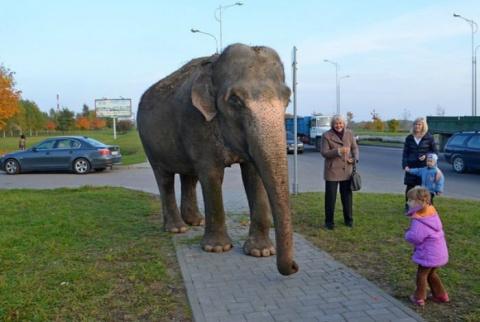 Слон, сбежавший от дальнобойщика, партизанит в украинских лесах