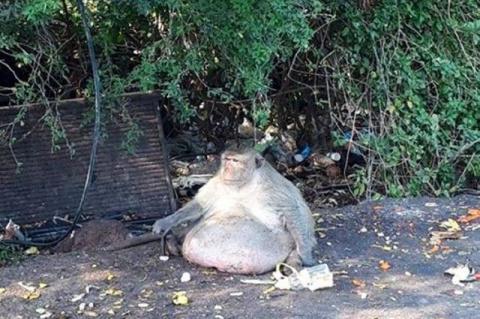 Очень толстую макаку отправят в тренировочный лагерь