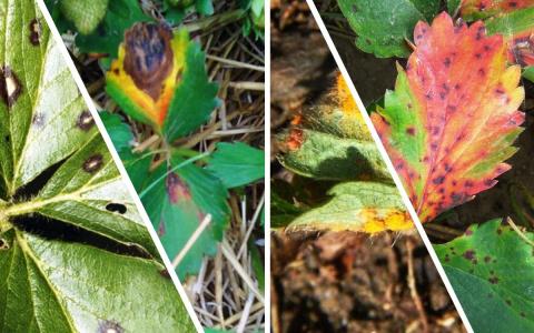 Что делать, если на листьях клубники появились пятна (фото и как бороться)