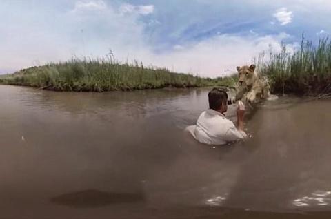 Львица прыгает в воду к чело…