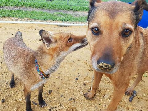 Спасенная собака стала лучшей мамой осиротевшему лисенку