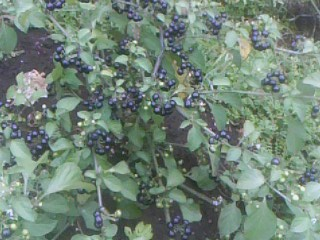 """Весной маме подруга дала рассаду """"Самбери"""" и сказала что это очень вкусная ягода,мы посадили."""