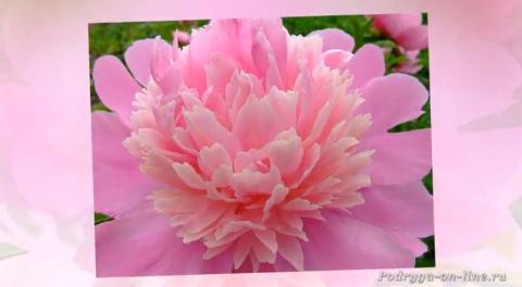 Пион - король цветов. Красивое слайд шоу