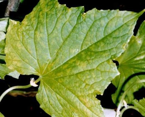Почему листья у огурцов имеют мраморную окраску. Почему листья у огурцов становятся мраморными