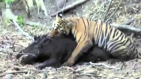 У тигра не выдержали нервы