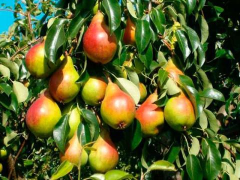 Суперурожай: надо ли нормировать плоды?
