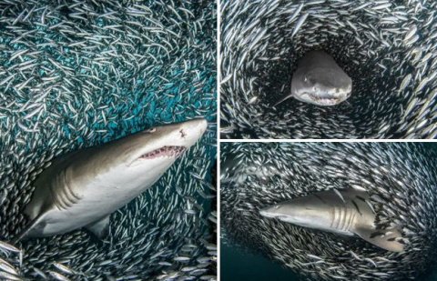 Тигровые акулы спокойно проплывают через косяк рыб