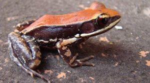 Южно-индийская лягушка выдел…