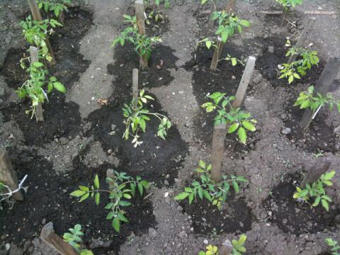 Зольный раствор накормит помидорки калием