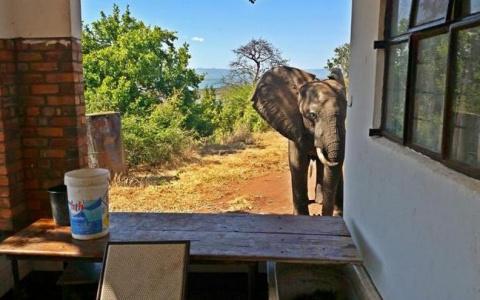 Раненый слон сам обратился к людям за помощью!