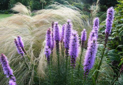 Лиатрис – растение для ленивых