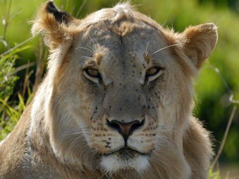 В зоопарке Чили убили двух л…