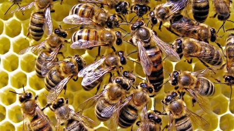 Индиец прячет пчел за пазуху…