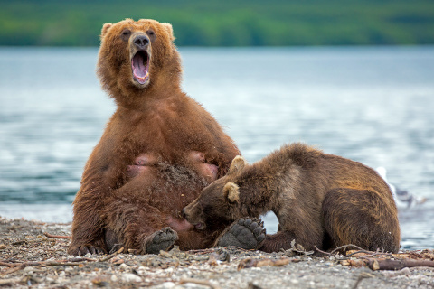 Медведицы держатся вблизи лю…