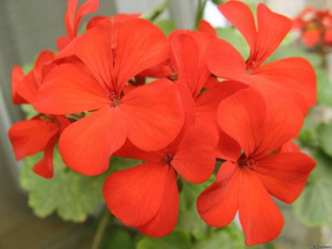 9 недугов, которые лечит герань. Не цветок, а помощник народных целителей!