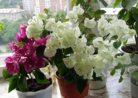 Бугенвиллея - Домашнее растение
